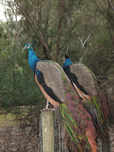 Peacocks at Gumeracha