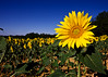 girasol (david A.F Photography) Tags: verde sigma amarillo 1020mm groc verd girasoles girasols anawesomeshot top20travel canoneos40d davidg9photography