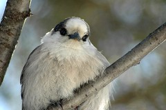 The perfect candidate (makeupanid) Tags: fluffy algonquinpark grayjay camprobber greyjay perisoreuscanadensis featheryfriday canadajay cheeselover withips