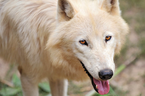 Wolves - Anatomy - Behavior - Conservation - Social life