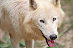 Cute arctic wolf (Tambako the Jaguar) Tags: portrait dog white snow france cute beautiful face tongue closeup zoo eyes nikon wolf looking close head canine canadian arctic doggy openmouth staring lupus wuff d300 canis digitalcameraclub amnville aplusphoto vosplusbellesphotos
