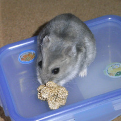 粟の穂を食べるコーキ