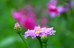 Fresh air from highland (joka2000) Tags: morning flower macro dew droplet bandai