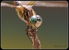 Happy Dragonfly (MEaves) Tags: macro nature smile closeup bug insect happy illinois eyes pentax dragonfly aficionados odonata blueribbonwinner bluedasher sigma105mm mywinners abigfave k10d pentaxk10d macromarvels betterthangood damniwishidtakenthat fantasticinsect