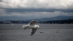 reconnaisance (lecates) Tags: fly d300 nikon seattle seagull iso200 10ev clouds 11600sec flight ferry gull 105mmf28gvrmicro pugetsound 105mm f8 sea sky