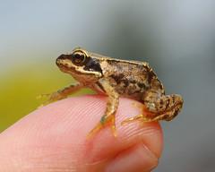 frog on a finger (*D@wn*) Tags: frog froglet sigma105macro nikond40 flickrchallengegroup flickrchallengewinner beginnerdigitalphotographychallengeswinner beginnerdigitalphotographychallengewinner