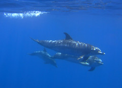 Three spotted dolphins  (stenella frontalis) (pierre_et_nelly) Tags: portugal dolphin pico azores aores spotteddolphin atlanticspotteddolphin stenellafrontalis zgeldelfin golfinhopintado dauphintachet stenellamaculataatlantica stenellamaculata atlantischerfleckendelfin delfnpintado golfinhopintadodoatlntico doftacat