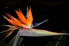 Strelizie / strelitzia (diwan) Tags: españa orange flower nature canon geotagged eos spain natur blumen tenerife 2008 teneriffa canaryislands spanien islascanarias strelitzia strelizie canoneos450d goldstaraward geo:lon=16582243 geo:lat=28396302