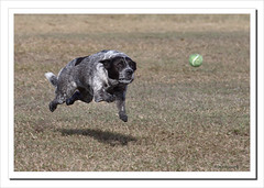 Keep your eyes on the ball-4459 (Barbara J H) Tags: dog pet molly qld tennisball blueheeler maroochydore bluecattledog australaia barbarajh countdownto2009yourdiary