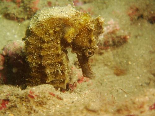 海馬之大黃(1)-Seahorse:Big yellow