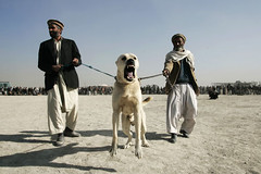 Dog fighting in Afghanistan (Michal Novotny) Tags: dog afghanistan fight kabul novotny wwwmichalnovotnycom
