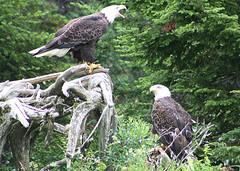 Bald Eagles (JPPhotographynl) Tags: nature birds bald eagles