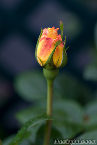 English Rose Bud