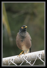 Myna (Arvind Manjunath) Tags: india bird animal canon rebelxt karnataka arvind myna arvindmanjunath