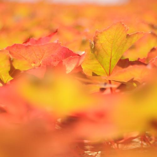 autumn bostonivy hbw parthenocissustricuspidata jmall jamesmorleynet jmplantsgardens
