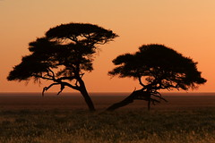 Etosha Pan - Acacia. (Maurizio Contini) Tags: world africa sunset red sun lighthouse white elephant color tree water beautiful yellow sunrise canon wonderful river spectacular fur point skeleton coast ship child cross desert dune pipes lion pelican canyon unesco organ scenario seals cape giraffe pan rise wreck namibia wreckage colony etosha maurizio himba engravings sossusvlei namib swakopmund twyfelfontein herero kuiseb contini damarland