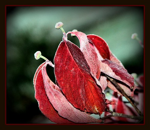 Fall frost on Dogwood leaves and buds