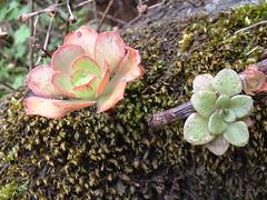 Ae_percarneum_Aichryson_epititos_Las_Lagunetas (bramwellii) Tags: grancanaria viajes crassulaceae aeonium floracanaria percarneum