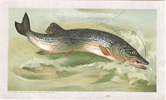 Arbuckle Bros. Coffee Company (Miami U. Libraries - Digital Collections) Tags: fish animals recipes pike fishinglures victoriantradecards coffeeindustry miamiuniversitylibraries muohiodigitalcollections