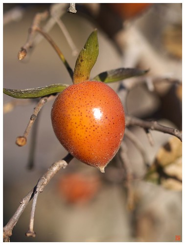 Little Persimmon 081219 #02