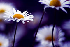 (Lee_Bryan) Tags: purple bokeh daisy thanksxakaacousticsoulforthelovelycard tamron70300mmmacrof456