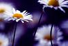 (Lee_Bryan) Tags: purple bokeh daisy thanksxakaacousticsoulforthelovelycard tamron70300mmmacrof456