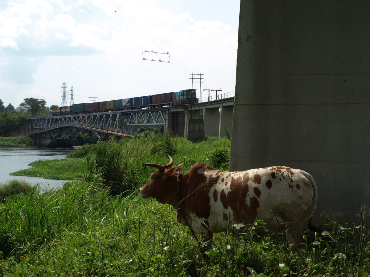 A cow and a freight train