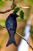Bronzed Drongo (nurur) Tags: bird dam bangladesh feni bronzed drongo bronzeddrongo muhuri nurur muhuridam muhuririver
