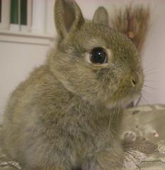 Cantada! Me llamo  Ponyo. Mucho gusto! :) (Rubyran) Tags: rabbit bunny conejo coelho lapin kaninchen coniglio rubyran ponyo kuneho
