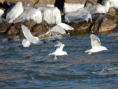 CSC_1548-E  SEAGULLS FISHING 1 (TongieZn5) Tags: seagulls nature birds wings gulls feathers waterbirds nikond40 citrit