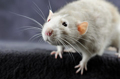 Bob (KristyR929) Tags: pet rat dumbo bob rats fancy