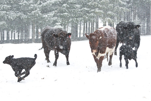 Calves Running In The Snow
