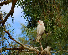 Just waiting for you to go away (elizabethdonoghue) Tags: bird australia melbourne victoria australianbirds longbilledcorella cacatuatenuirostris riverredgum eucalyptuscamaldulensis cacactuatenuirostris