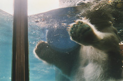 (Erin Gilkes) Tags: newyorkcity newyork cute film water animal analog swim 35mm ball zoo play centralpark polarbear analogue canonae1 expired centralparkzoo kodak200