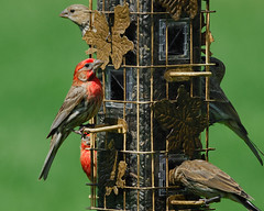 House Finches, males and females (jc-pics) Tags: birds backyard nikon feeder finch d200 tamron 200500mm