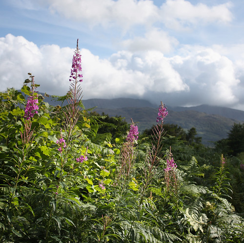 Rosebay Willowherb & Cadair Idris