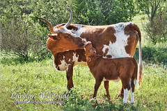 Longhorn Cow_Calf