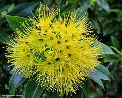 Xanthostemon chrysanthus - Golden Penda,Yellow Penda (Black Diamond Images) Tags: yellowfp australianrainforestplants australianrainforesttrees rainforesttrees myrtaceae blackdiamondimages floweringtrees yellowfloweringtrees yellow xanthostemonchrysanthus goldenpenda yellowpenda qrfp xanthostemon queensland australianrainforestflowers arfflowers australianflowers australiannativeflowers arfp australiannativeplants nativeplants australianplants australianflora rainforestplants rainforest australianrainforest australianrainforests australianrainforestplant yellowarfflowers flowersaustralian native flowersrainforest floweraustralian flower rainforestplant australiannativeplant rnrfgdb rnrfgdbarfp flowers australianrainforestflora
