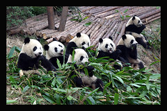"THE ULTIMATE ""PANDARAMIC"" SCENE (electra-cute) Tags: china panda babies center breeding chengdu base jewel adoption baoshi ar1 blindphotographers graffitijewelry diamondclassphotographer flickrdiamond pandarazziblog"