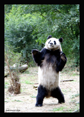 Panda Base Chengdu China (electra-cute) Tags: china panda chengdu 2008 base adoption pandarazziblog