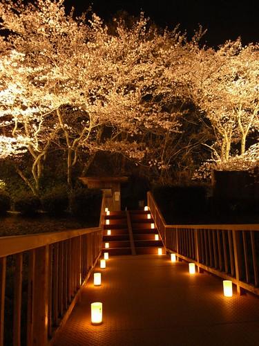 石舞台古墳(夜桜)-06