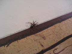 Spider on my wall (littlemiao) Tags: minnesota spider spiders myapartment parson parsonspider