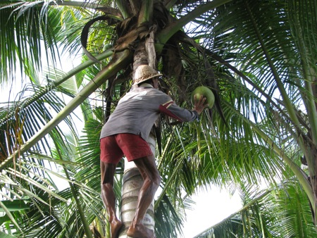 Coconut Picking in Bali
