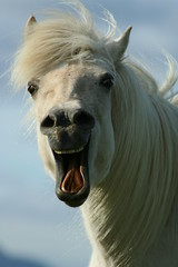 Horse (Fjola Dogg) Tags: horse white animal caballo cheval funny  laugh cavallo cavalo pferd kuda hest hevonen paard  hst ceffyl    l ko arklys icelandichorse perd zaldi  k konj hobune   capall zirgs  iemel k farasi nga  equum  fjoladogg