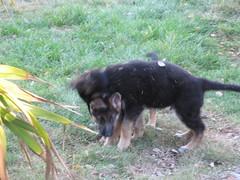 flurry of activity (ecobirdlove) Tags: dog pets elcajon germanshepherd klaus playdate janka puppyhood vomgrunenfelds