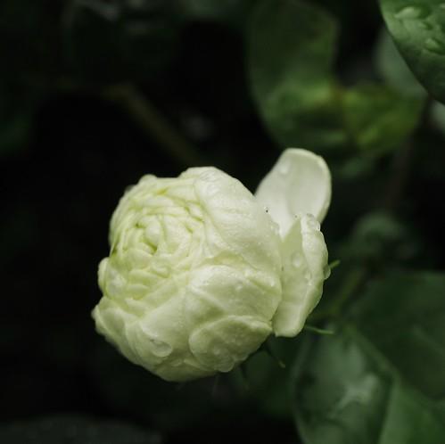 Capullo de flor