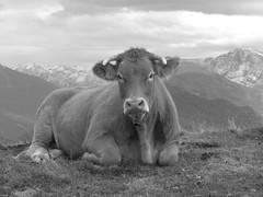 Luchon - superbagneres - vache B&W
