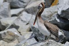 Brown Pelican (CrazyM) Tags: brownpelican pelecanusoccidentalis