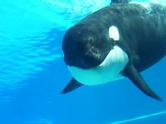 Orca at Marine World (hartjeff12) Tags: ontario niagara orca marineworld