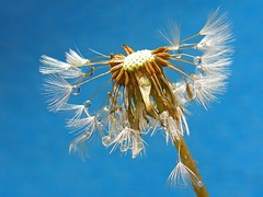 Dandelion with drops (tanakawho) Tags: plant macro water waterdrop seed down center drop fluff onblue mywinners tanakawho